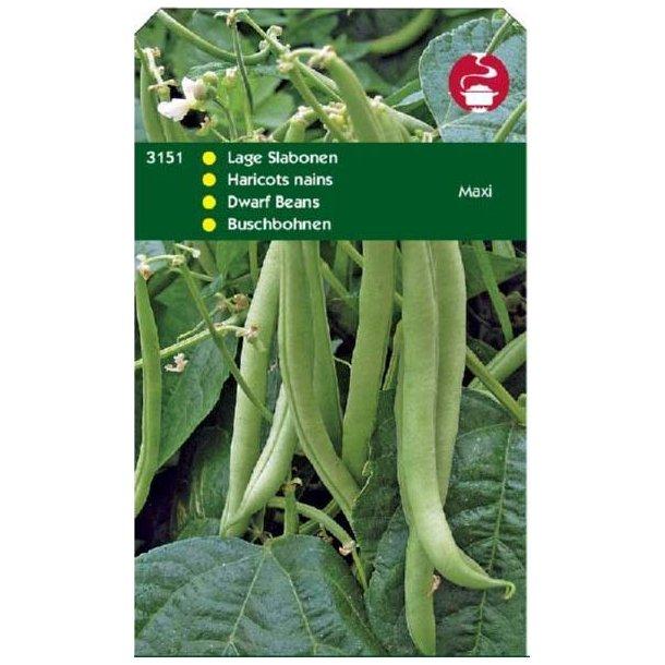 Phaseolus vulgaris Maxi