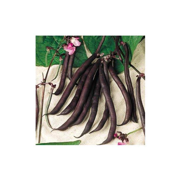 Phaseolus vulgaris Purple Queen