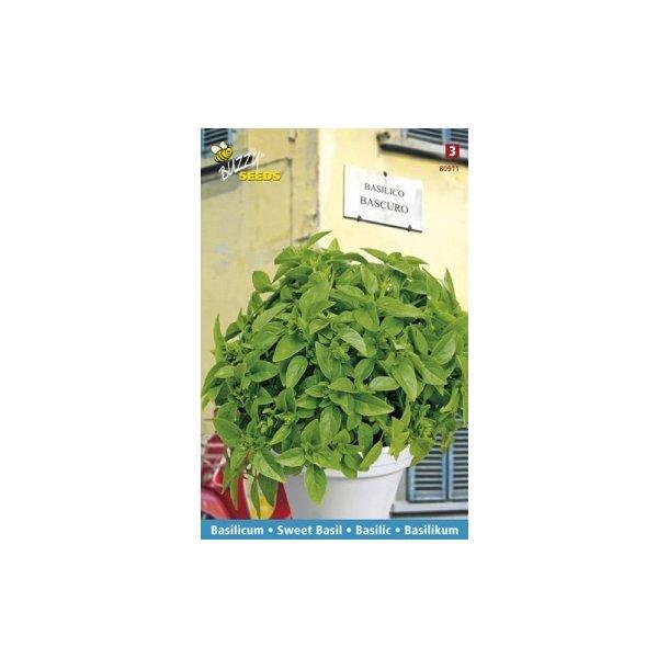 Ocimum basilicum Bascuro