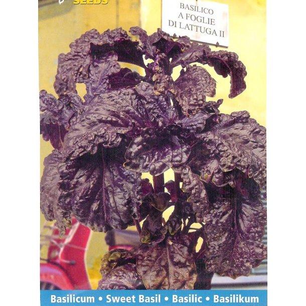 Ocimum basilicum A Foglia Violetta Di Lattuga