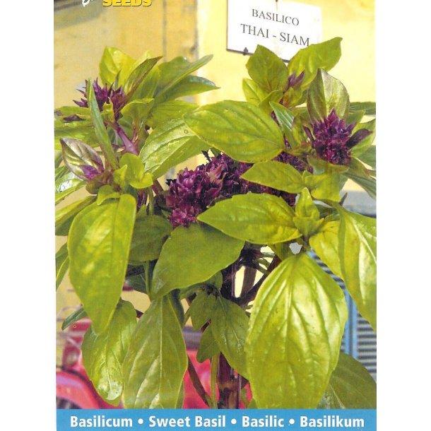 Ocimum basilicum var. thyrsiflorum Thai Siam