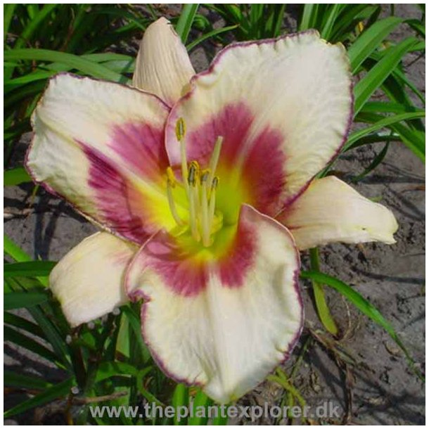 Hemerocallis Chicago Picotee Memories