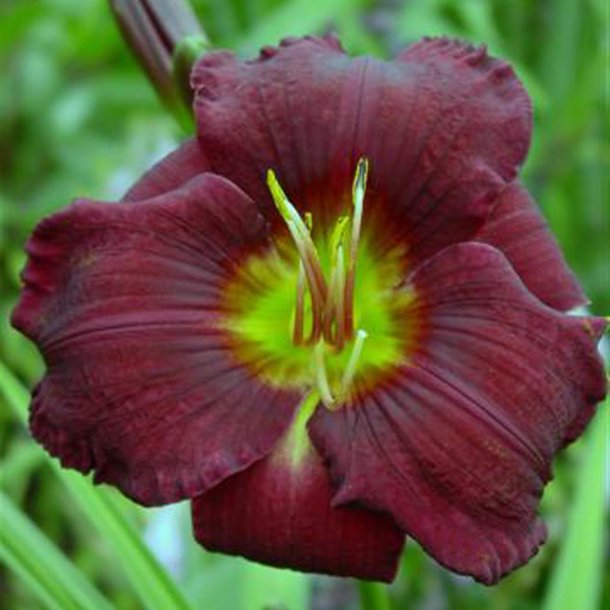 Hemerocallis Olive Bailey Langdon
