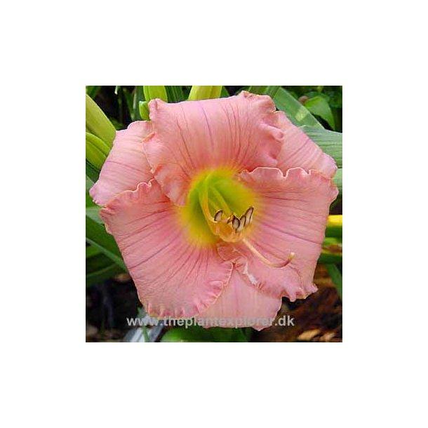 Hemerocallis Silken Touch