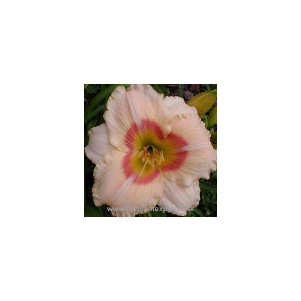Hemerocallis Siloam Ethel Smith