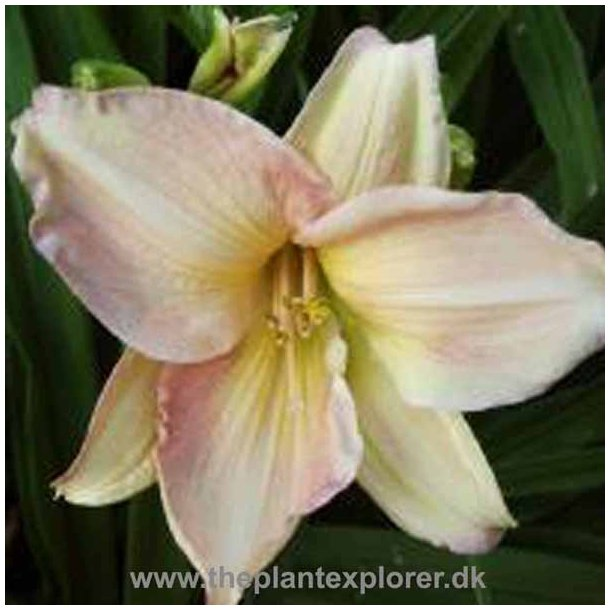 Hemerocallis Sound Of Music