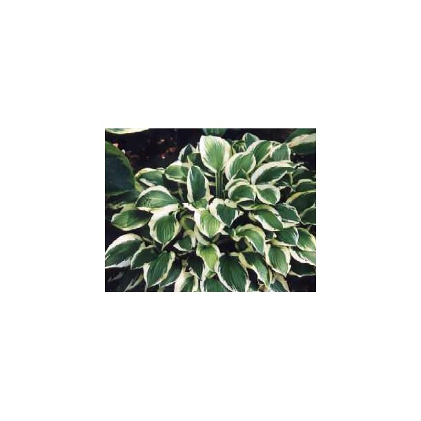 Hosta Pacific Blue Edger