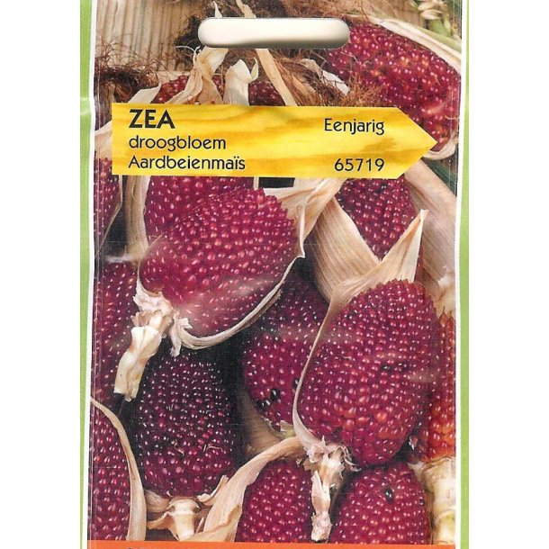Zea mays var. Gracillima Strawberry Corn