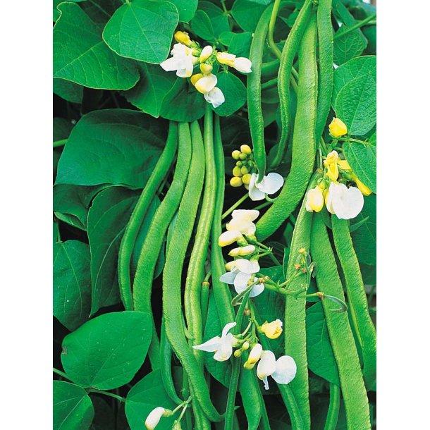 Phaseolus coccineus White Lady