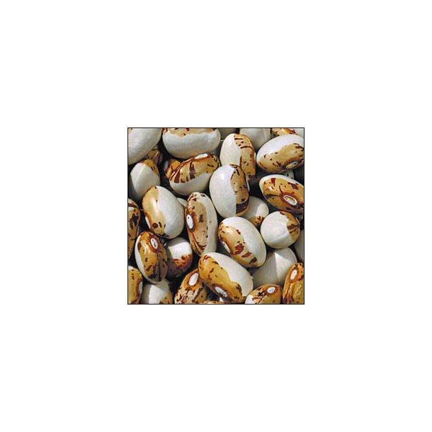 Phaseolus vulgaris Hidatsa Shield