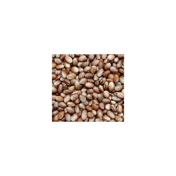 Phaseolus vulgaris Turkey Craw