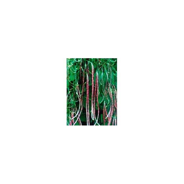Vigna unguiculata subsp sesquipedalis Mosaic