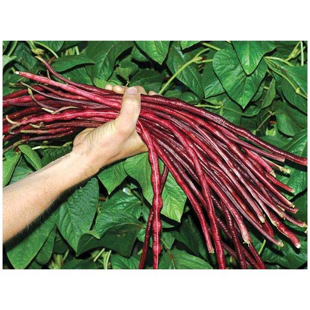 Vigna unguiculata subsp sesquipedalis Red Noodle