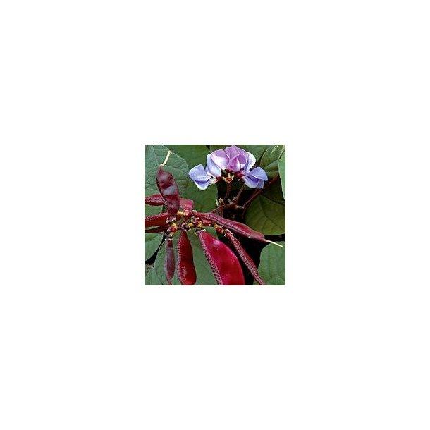 Dolichos lablab purpureus Purple