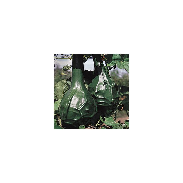 Lagenaria siceraria Dinosaur Gourd