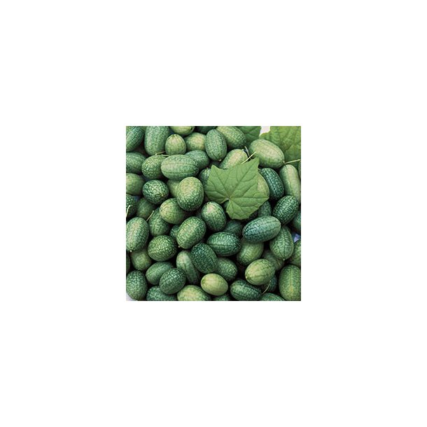 Melothria scabra Mexican Sour Gherkin